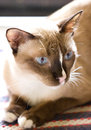 Siamese cat female hybrid laying on ground Royalty Free Stock Photos