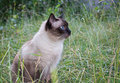 Siamese cat on the grass Royalty Free Stock Images