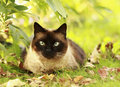 Siamese cat in a green grass Stock Photography