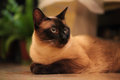 Siamese cat in the house Royalty Free Stock Photography
