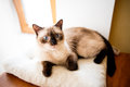 Siamese cat a juvenile resting on a pillow Royalty Free Stock Image