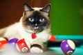 Siamese cat laying on the pool table Stock Photo