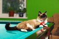 Siamese cat laying on the pool table Stock Image