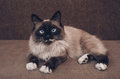 Siamese cat lying on sofa fluffy with blue eyes indoor looking at camera Stock Photo