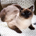 Siamese cat male with funny face Royalty Free Stock Photos