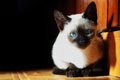 Siamese cat the is one of the first distinctly recognized breeds of oriental the breed originated in thailand formerly known as Stock Photos
