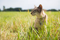 Siamese cat outdoor in grass Royalty Free Stock Images
