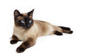 Siamese cat over white background Stock Images