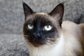 Siamese cat portrait of a Royalty Free Stock Photography