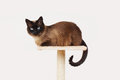 Siamese cat resting on platform lookout top of scratching post Royalty Free Stock Image