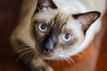 Siamese cat or seal brown cat with grey eyes, Royalty Free Stock Photo