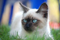 Siamese cat a sitting on the grass and watching for her prey Stock Image