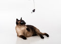 Siamese Cat Sitting on the white desk and looking up. Mouse as a Toy and Ready to Attack. White background Royalty Free Stock Photo