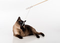 Siamese Cat Sitting on the white desk and looking up. Wooden Stick and Mouse as a Toy. White background Royalty Free Stock Photo