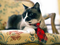 Siamese cat with tie beautiful purebred on a chair Stock Photo