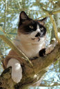 Siamese Cat in a tree Stock Image