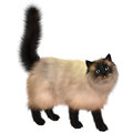 Siamese cat the was first developed in thailand and is noted for its distinctive coat markings Stock Photography