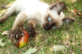 Siamese cat in the yard playing with an apple Stock Images