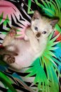 Siamese Colored Kitten Cuddled On Back Royalty Free Stock Photo