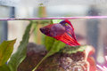 Siamese fighting fish a also known as a betta in a small aquarium Royalty Free Stock Image