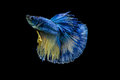 Betta fish or Siamese fighting fish