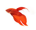 Siamese fighting fish betta fish isolated side view of splendens on white background Stock Images