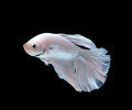 Siamese fighting fish betta fish isolated on white backgr background Stock Image