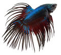 Siamese fighting fish. Betta Splendens Royalty Free Stock Photo