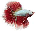 Siamese fighting fish. Betta Splendens Stock Image