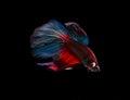Siamese fighting fish (Betta splendens) Royalty Free Stock Photo