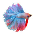 Red betta fighting fish