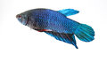Siamese fighting fish blue in aquarium Royalty Free Stock Photo