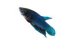 Siamese fighting fish blue in aquarium Stock Image