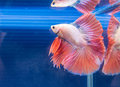 A siamese fighting fish in bowl Stock Photography