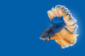 Siamese fighting fish Royalty Free Stock Photo