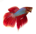 Siamese fighting fish isolated on white background Stock Photo