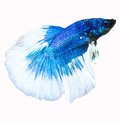 Siamese fighting fish isolated in white background betta splend splendens clipping path Stock Photo