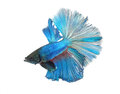 Siamese fighting fish isolated on white background half moon Royalty Free Stock Photography