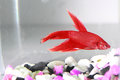 Siamese fighting fish red in aquarium Royalty Free Stock Photo