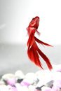 Siamese fighting fish red in aquarium Royalty Free Stock Photos