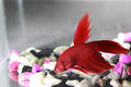 Siamese fighting fish red in aquarium Stock Images
