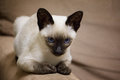 Siamese kitten beautiful with bright blue eyes Royalty Free Stock Images