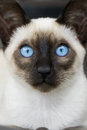 Siamese kitten blue eyes a seal point with beautiful big Royalty Free Stock Photo