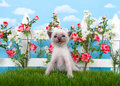Siamese kitten in flower garden on grass Royalty Free Stock Photo