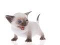 Siamese kitten isolated on white
