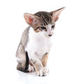 Siamese kitten little isolated over white background Royalty Free Stock Images
