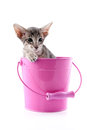 Siamese kitten in pink bucket little isolated over white background Royalty Free Stock Photography