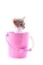 Siamese kitten in pink bucket Royalty Free Stock Photo