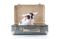 Siamese kitten in vintage suitcase little old Stock Photography