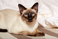 Siamese oriental cat Royalty Free Stock Photo